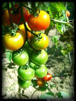 Rainbow Tomatoes by Emilie25