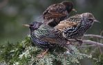 Starlings by barcon53