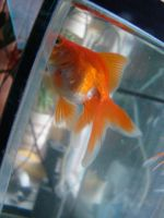 Gold fish 2 by Panopticon-Stock