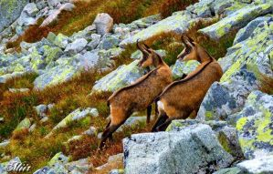 Chamois - hiking companions by miirex