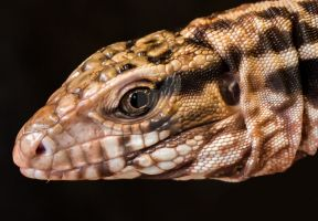 Tegu Lizard Close by AlpoArts