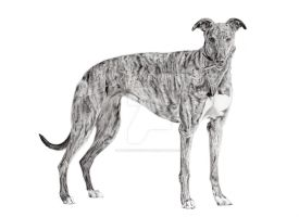 Tess the Greyhound by stardust12345