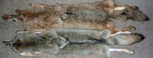 coyote comparing by Tricksters-Taxidermy