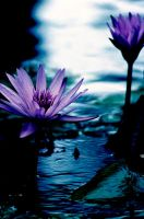 Water Lilly 39 by Art-Photo