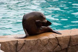 Sea Lion 24 by NoAttributionStock