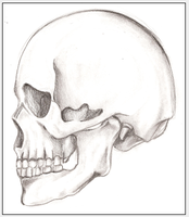 Skull by LauraNeocleous