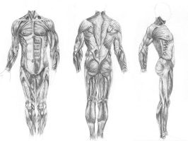 Muscles of the BODY by anime234dotcom