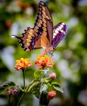 Butterfly by mattboggs