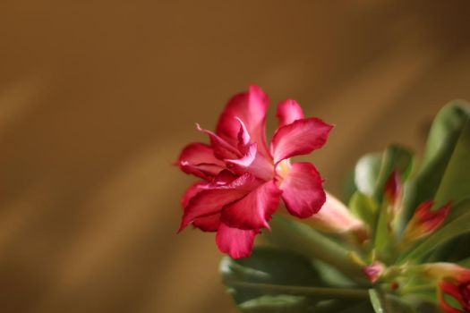 Desert Rose by linus9302