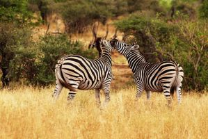 zebras in kruger by psychostange