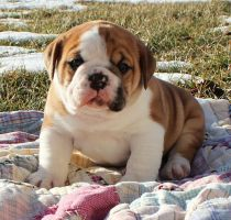 Patrick by NobleBulldogges