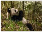 Panda - HDR by AfroAfrican