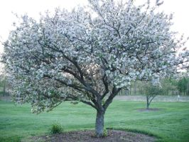 popcorn popping on the apricot tree by Wristbandgirl