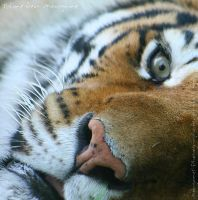 In the eye of the Tiger by MorganeS-Photographe