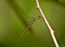 Dragonfly by Gallynette