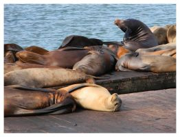 pier39 sea lions by LunaticStar