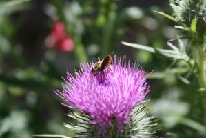 Bee dance on Thistle Blossoms by KarmicCircle