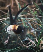 Long-tailed Paradise Whydah by Parides