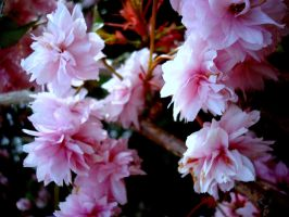 symmetry pink by midwinters