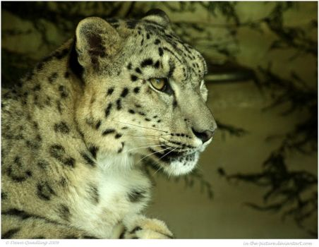 Snow Leopard Daydreams by In-the-picture