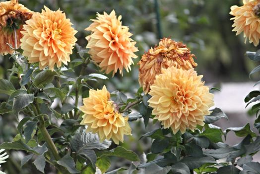 Last dahlias of fall 2 by TimeElf