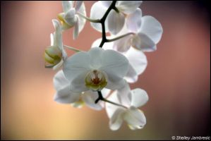 orchid by metalpics