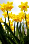 Daffodils in the Sky by TinyCueCard