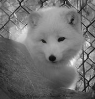Arctic Fox by h3llzcupcake