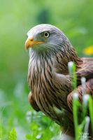 2010-211 Hellenthal Red Kite I by W0LLE