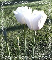 White Tulips by JDM4CHRIST