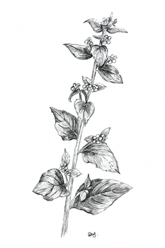 green alkanet for Day 13 of Inktober by Wenchkin