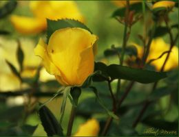 A rose for Cindy by ShlomitMessica