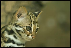 Little Bengal by Svenimal