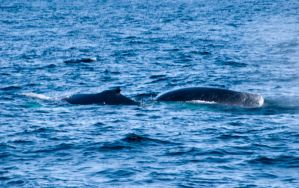 Whales, Two Backs by Miss-Tbones
