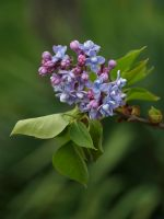Lilac 06 by botanystock