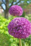 purple puff balls by jessica1976
