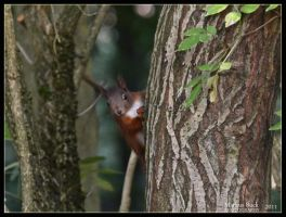Nosy squirrel by HobbyFotograf