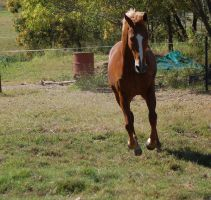 Horse stock - gallop front on by Chunga-Stock