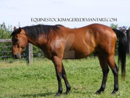 Quarter Horse 60 by EquineStockImagery