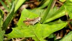 Big Grasshopper makes Sounds on a Leaf (Chirping) by Dark-Vision-Design