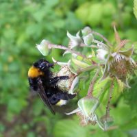 Bombus by Abrimaal