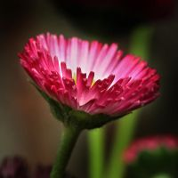Bellis Perennis 04 by s-kmp