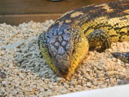 Blue Tongue Skink 001 - HB593200 by hb593200