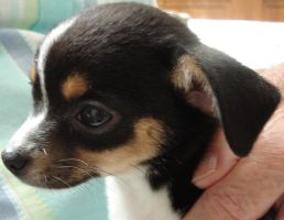 Zeta the Chihuahua puppy by KeswickPinhead