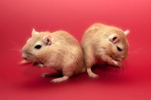 Just Two Gerbils by ErikTjernlund