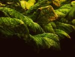 Tobacco IV by PixiePoxPhotography