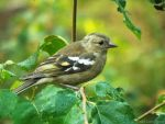 Chaffinch - Female III by Vhazza