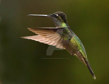 A flash of green - Magnificent Hummingbird by Jamie-MacArthur