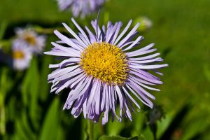 Marguerite Macro by Verguenza