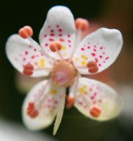 beautiful tiny blossom by Acc3a
